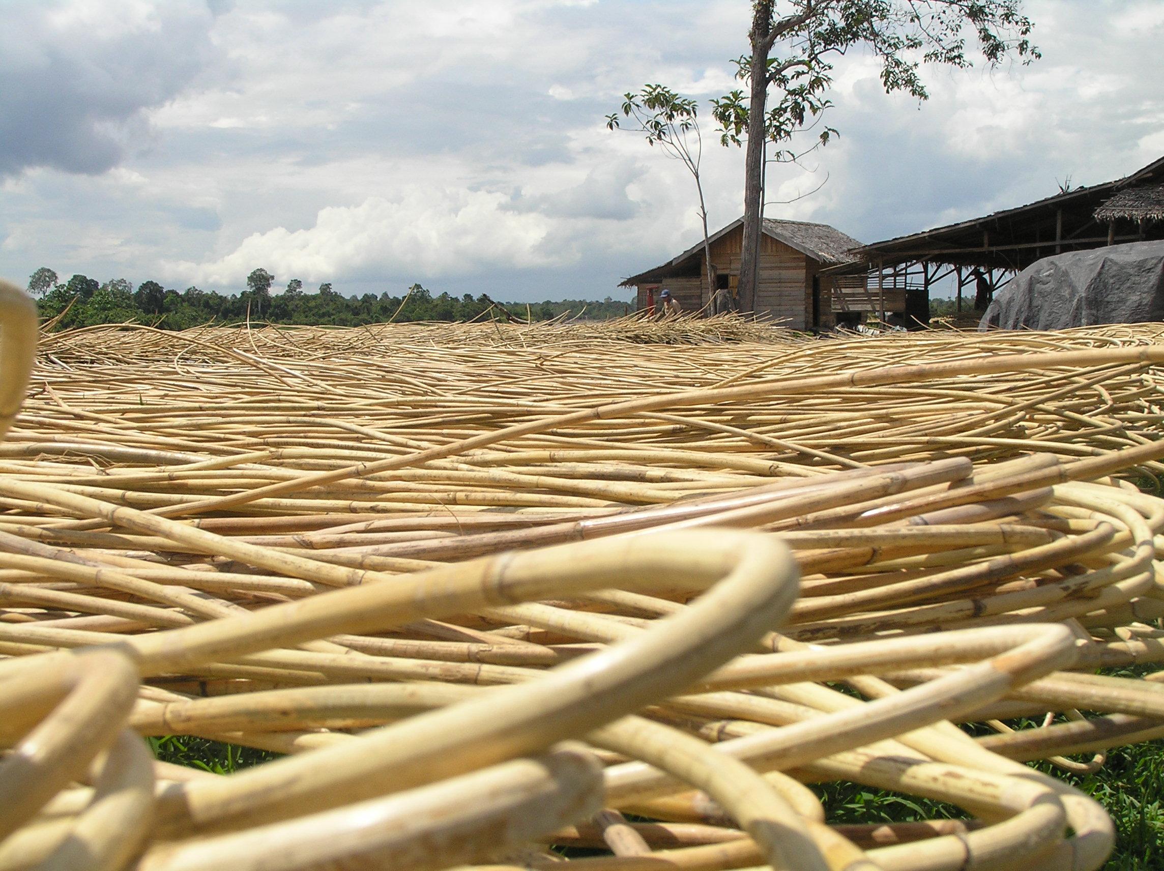 Jenis-jenis Rotan Terbaik di Indonesia